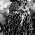 Looking Owl  by Cliff Norton