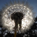 Looking Through A Dandelion by Rebecca Cearley