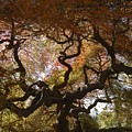 Looking Thru A Japanese Maple by Johnnie Stanfield