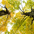 Looking Up At Fall by Greg Fortier
