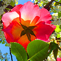 Looking Up At Rose And Tree by Amy Vangsgard