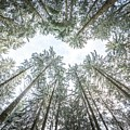 Looking Up In The Forest by Hannes Cmarits