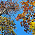 Looking Upward At Autumn's Trees  by Lydia Holly