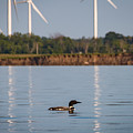 Loon And Windmills by Sandy Roe