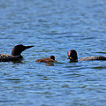 Loon Family Feeding Time by Nancy Dunivin