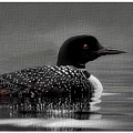 Loon Morning by Anthony Djordjevic