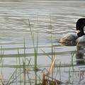 Loon On A Northern Minnesota Lake by Doug Rogahn Fine Art Photography