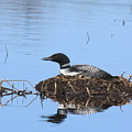 Loon On Nest by Jeff Schlesinger