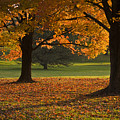 Loose Park Maple Trees by Chad Davis