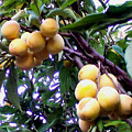Loquats In The Tree 1 by Jeelan Clark