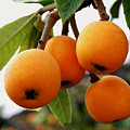 Loquats In The Tree 2 by Jeelan Clark