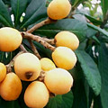 Loquats In The Tree 3 by Jeelan Clark