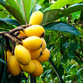 Loquats In The Tree 4 by Jeelan Clark