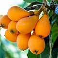 Loquats In The Tree 5 by Jeelan Clark