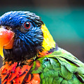 Lorikeet Glance by Em Witherspoon