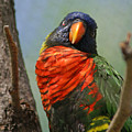Lorikeet by Heather Coen