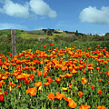 Los Olivos Poppies by Kurt Van Wagner