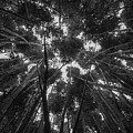 Lost Among The Bamboo by William Sikora