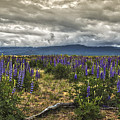 Lost In The Lupine by Mitch Shindelbower