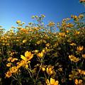 Lots Of Buttercups Against A Blue Sky by Sven Brogren