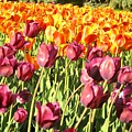 Lots Of Tulips by Ian  MacDonald