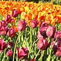 Lots Of Tulips by Ian  MacDonald