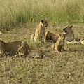 Lotsa Lions by Michele Burgess