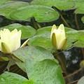 Lotus by Angela Siener
