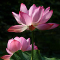 Lotus Beauties--upstaged Dl048 by Gerry Gantt