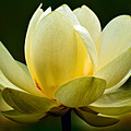 Lotus Blossom by Christopher Holmes