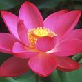 Lotus Blossom by Elvira Butler