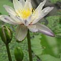 Lotus Blossom  by Heather Lennox