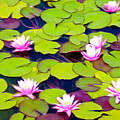 Lotus Blossom Lily Pads by Alice Schear