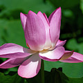Lotus Bud--almost There II Dl0097 by Gerry Gantt