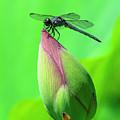 Lotus Bud And Slaty Skimmer Dragonfly Dl0105 by Gerry Gantt