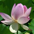 Lotus Bud--getting The Hang Of It IIi Dl0095 by Gerry Gantt