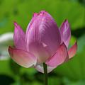 Lotus Bud--opening Up II Dl0091 by Gerry Gantt
