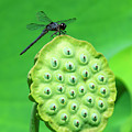Lotus Capsule And Slaty Skimmer Dragonfly Dl0106 by Gerry Gantt