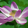 Lotus--center Of Being--protective Covering I Dl0087 by Gerry Gantt