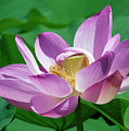 Lotus--center Of Being--protective Covering II Dl0088 by Gerry Gantt