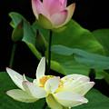 Lotus Dancing In The Pond by Sabrina L Ryan