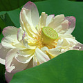 Lotus--doubled-up IIi Dl0103 by Gerry Gantt