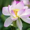 Lotus by Edward Kreis