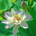 Lotus--fading I Dl0079 by Gerry Gantt