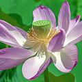 Lotus--fading II Dl0080 by Gerry Gantt