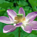 Lotus--fading IIi Dl0081 by Gerry Gantt