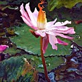 Lotus Fire by Chris Crowley