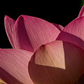 Lotus Flower 5 by Buddy Scott