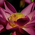 Lotus Flower 7 by Buddy Scott