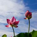 Lotus Flower And Lotus Flower Plants by Hang Tran Thi Thu